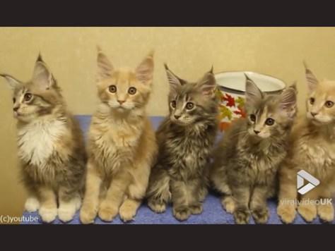シンクロ率400%なメインクーンの子猫たち00