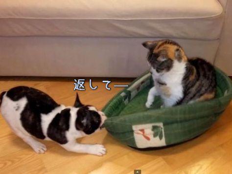 猫からベッドを取り返そうとする犬00