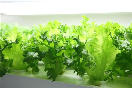 富士通、半導体工場を植物工場に転用して栽培したレタスを初出荷 2014/05/05