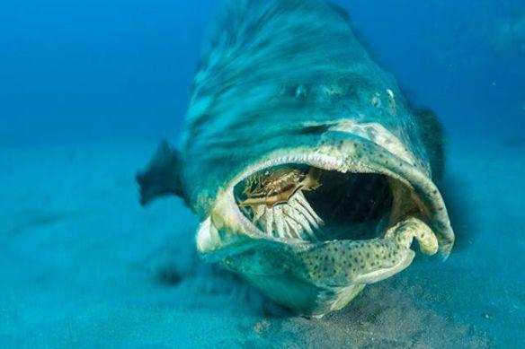 巨大魚イタヤラ、サメをひと飲みに