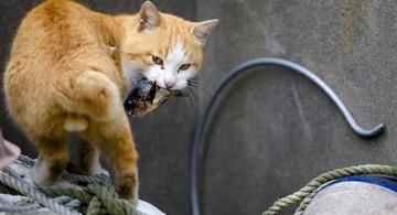 【ダブスタ】豪州政府「野良猫200万匹を駆除する」