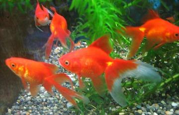 民主党「鑑賞魚は軽減税率適応されるの?食用として売ってたらどうなの?全部教えてください」
