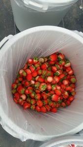【社会】先端だけ食べて捨てるイチゴ狩り客のマナーが話題…イチゴ農家の呼びかけに賛否両論