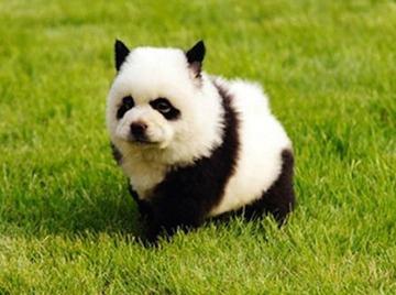 【動物】中国でブームの「タイガー犬」、猛毒の塗料で虎柄にされ1週間の命