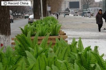 これが中国式「緑化」? プラスチック製の野菜で大通りを埋め尽くす
