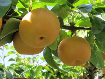 出荷まで残すところ1週間だった梨500個がもぎ取られる…新潟