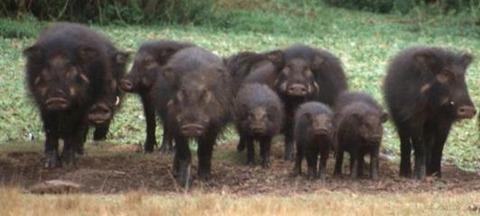 【閲覧注意】とある古い銅鉱山の近くで狩った野生ブタを食べようとした結果… 肉の色がまるでエイリアンじゃねーか…