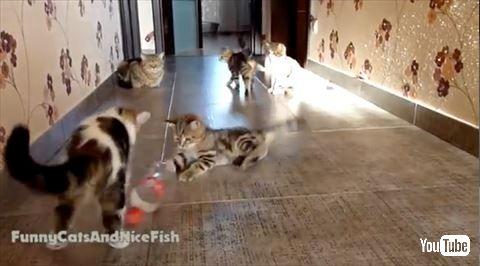 【動画あり】ペットボトルを転がして遊ぶ子猫たちがサッカーしてるみたいで可愛いwwwwwwww