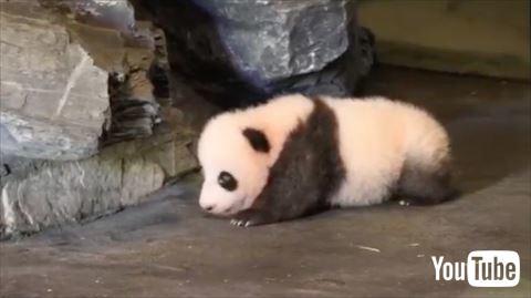【動画あり】よちよち歩きで一生懸命歩くパンダの赤ちゃんが可愛すぎるwwwwwwwwwww