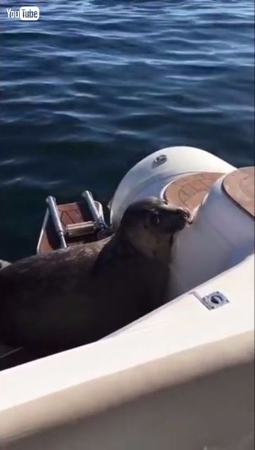 【動画あり】シャチに追われるアザラシが間一髪でプレジャーボートに避難して難を逃れるwwwwwwww