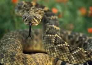 【たけぇ】「ガラガラヘビに噛まれたンゴwww治してンゴwwwwww」→医者「1900万円の治療費頂きます(^q^)」