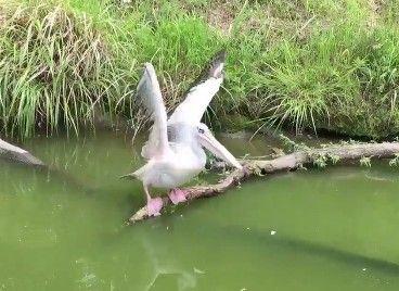 【動画あり】お!?あのペリカン飛ぶ!? 飛ぶぞ!? → まさかのオチwwwwwwwww