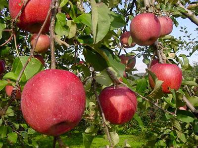 りんご農家なんだけど大打撃受けました・・・アドバイスください