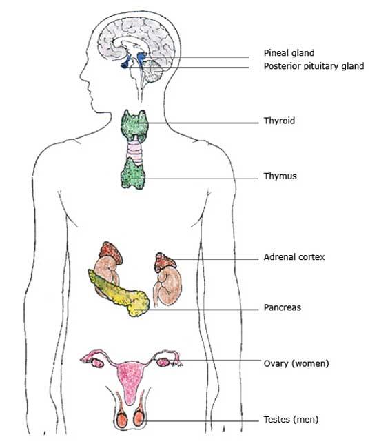 endocrine gland diagram labeled