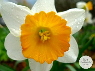 liveseasoned_spring2014_welcomapril_daffodil_wm