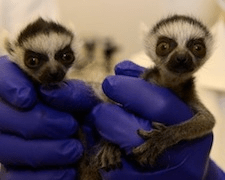 DreamWork's Heirs to Madagascar's Royal Throne Born