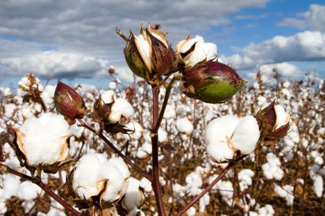 Pengumuman Cpns Deli Serdang Pengumuman Link Situs Pemeritah Daerah Yang Membuka 468 X 311 183; 143 Kb 183; Jpeg Choosing Health Organic Cotton Versus