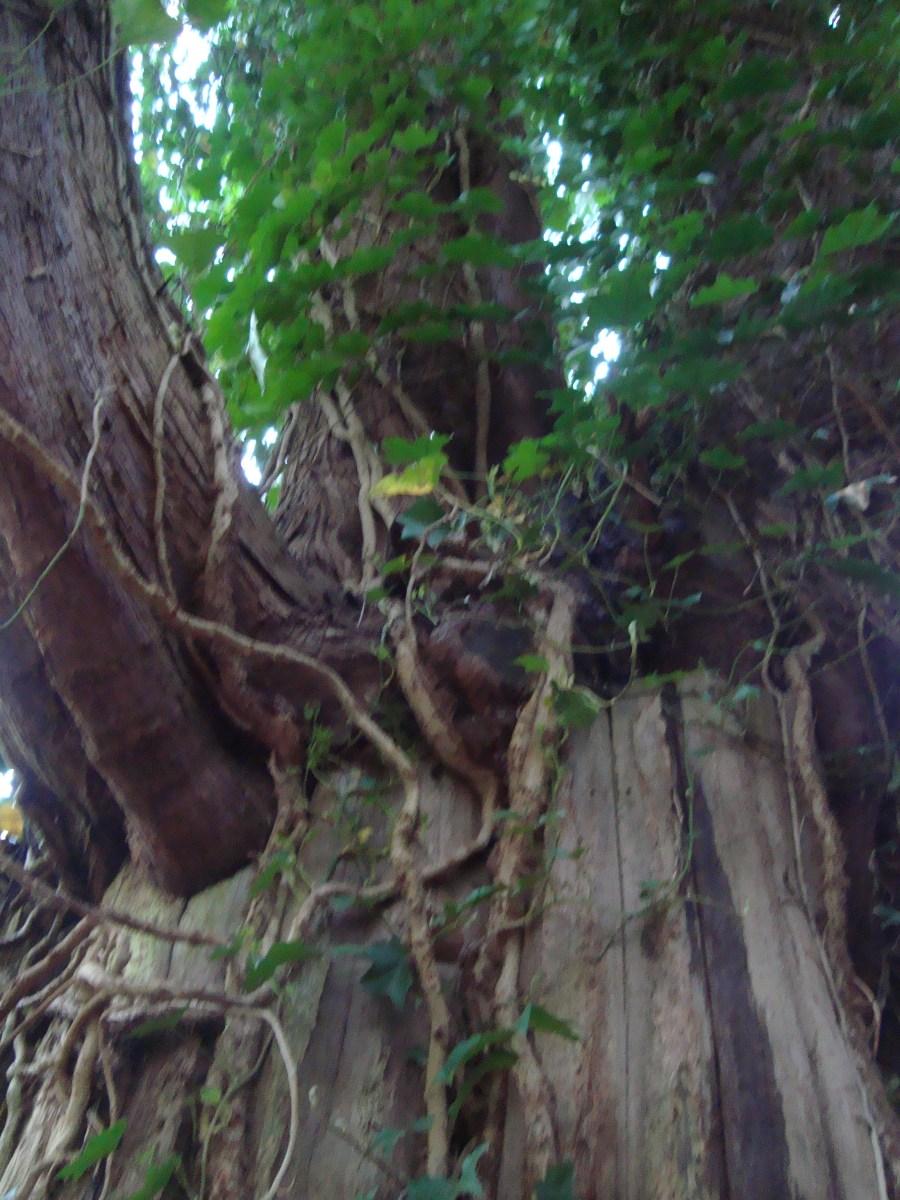 Gort (Ivy Vine) II