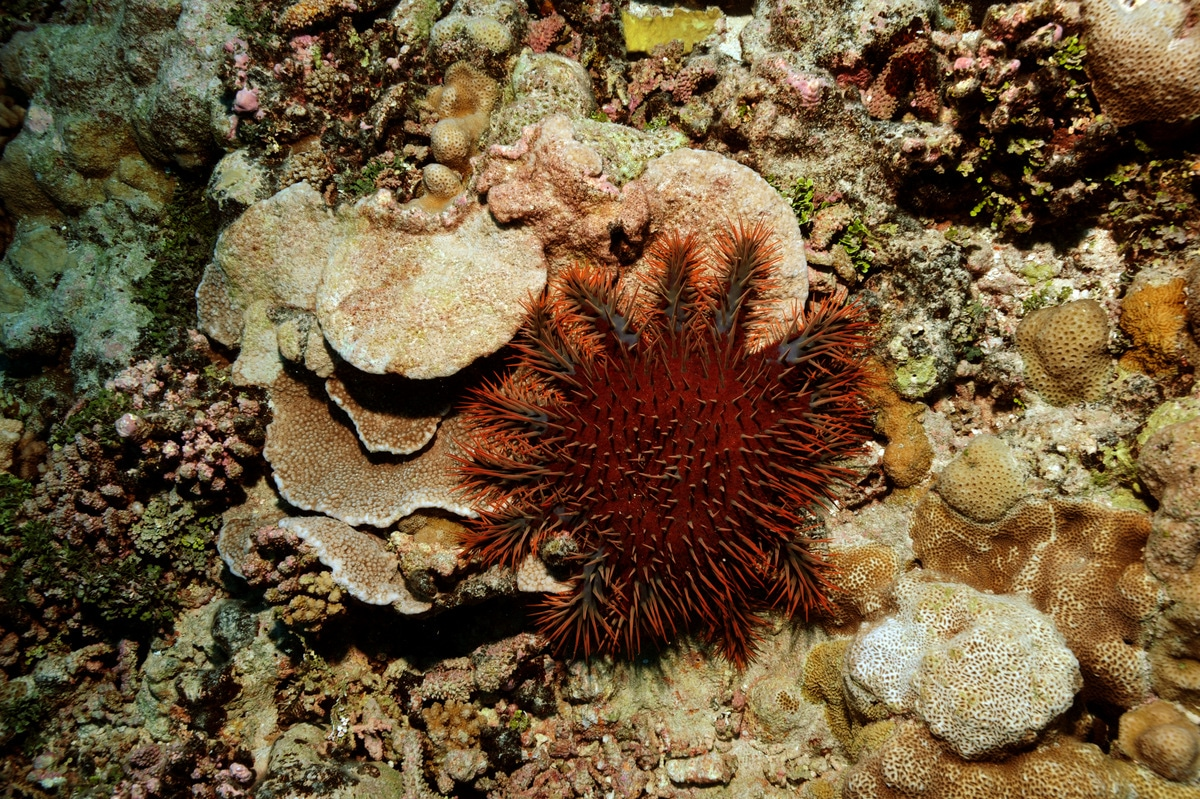 Sand Spurs Where's The Coral? Cots Outbreak Crown Of Thorns Starfish