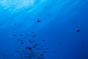 Stalking eagle rays in current