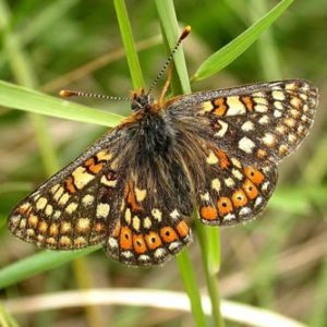 marsh-fritillary-websiteclip