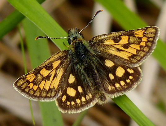 Chequered Skipper spotted by Chris Irvine on LNHG Balindore field trip 2011, at the time the furthest south record for this species