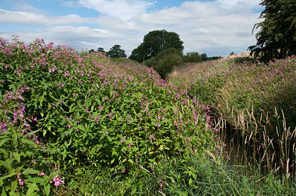 Himalayan Balsam. Photo: GB Non-native Species Secretariat, © Crown Copyright 2009