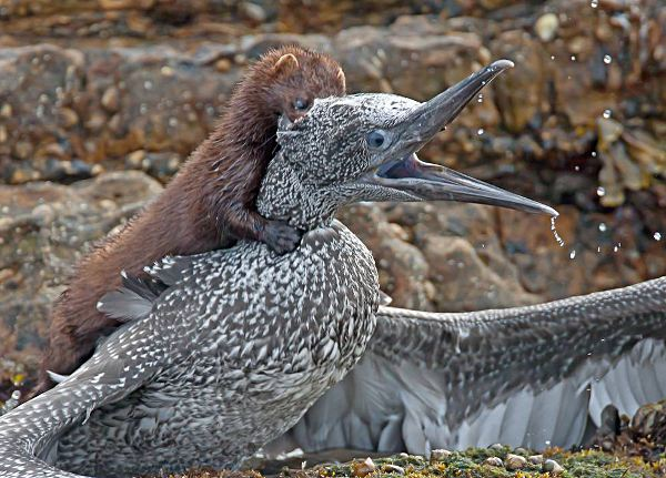 Mink attacking Gannet. Photo by John Anderson, Creative Commons Attribution 2.0 (UK) Licence