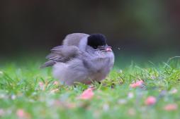 Blackcap (Sylvia atricapilla)-KS
