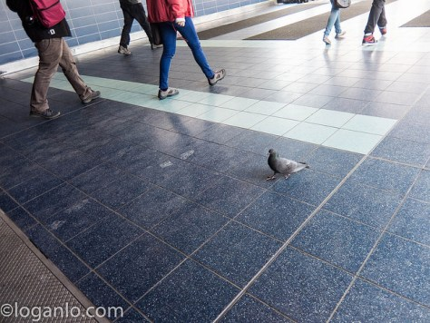Pigeon in St. George Ferry Terminal in Staten Island