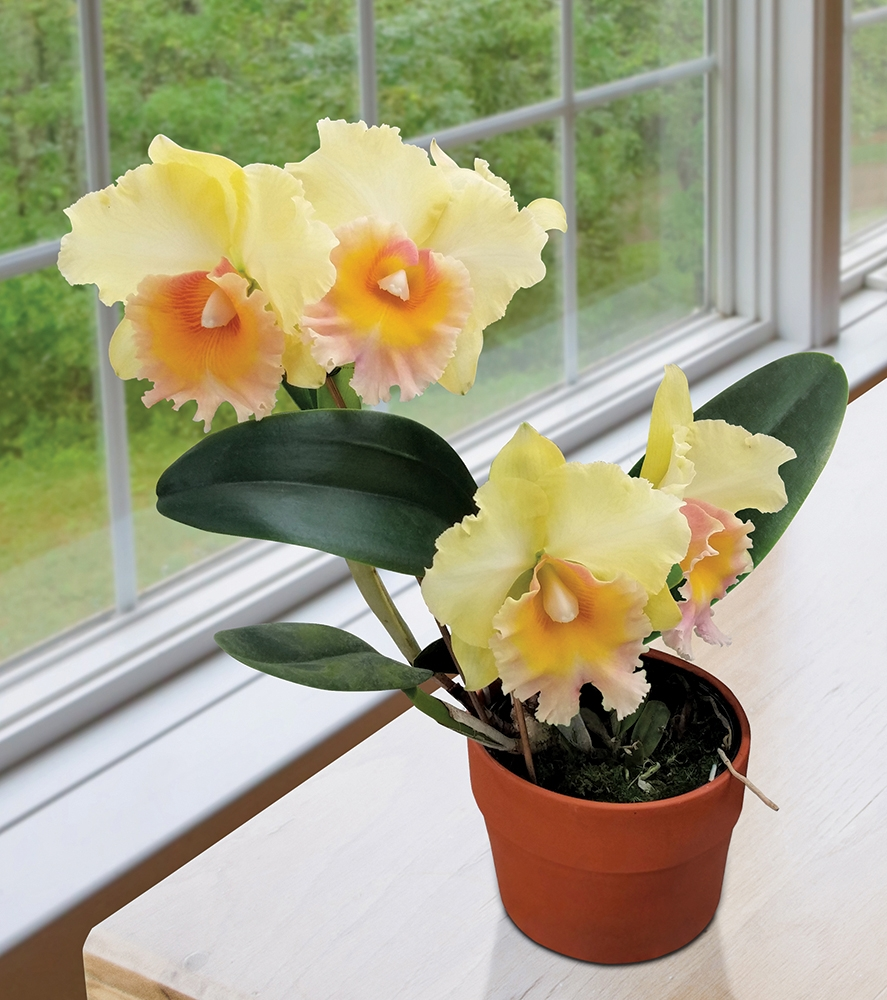 Where To Buy Indoor Plants Online Orchids For Sale Online Buy Rare And Exotic Live Orchid Plants