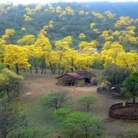 Florecimiento de los Guayacanes