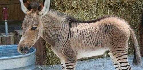 Zonkey - Donkey + Zebra