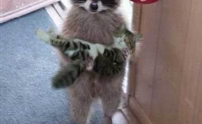 Raccoon Kitten