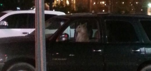 Dog in truck, looking like a driver.