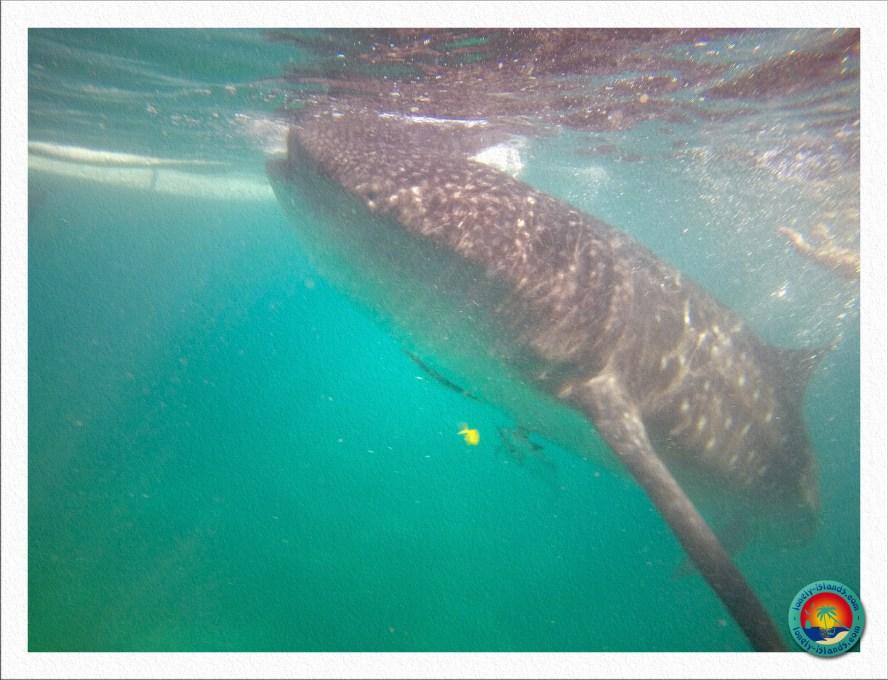 Walhai an der Oberfläche