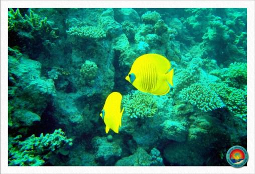 Masken Falterfische