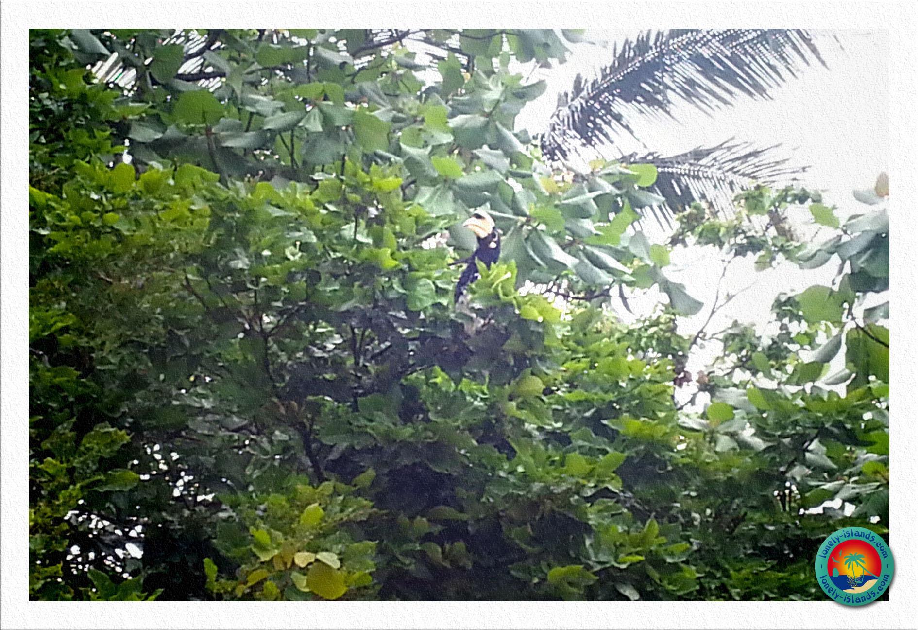 Nashornvogel am Tonsai Beach
