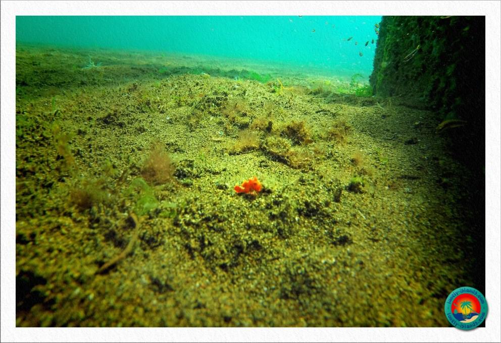 orangener frogfish