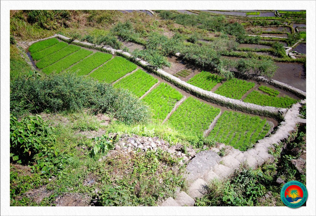 grüne Reisterrassen