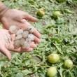 Pera-y-granizo-frutales