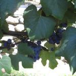 Concord grapes on the vine at Gilmanton