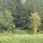 Torii Mor vineyards bordering on the forest.