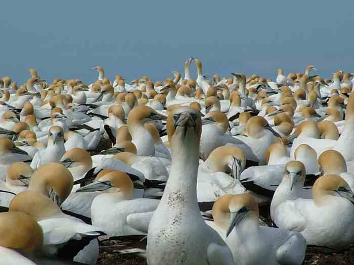 Gannet Birds New Zealand NZ