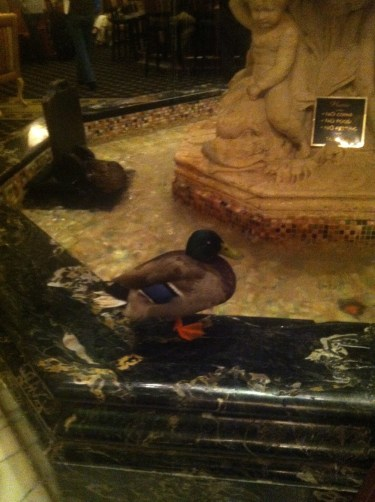Ducks in the Peabody Hotel fountain!