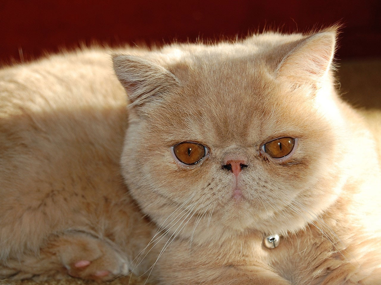 Cat Cat Which Cat Breed To Choose Cat Personalities Lovecats