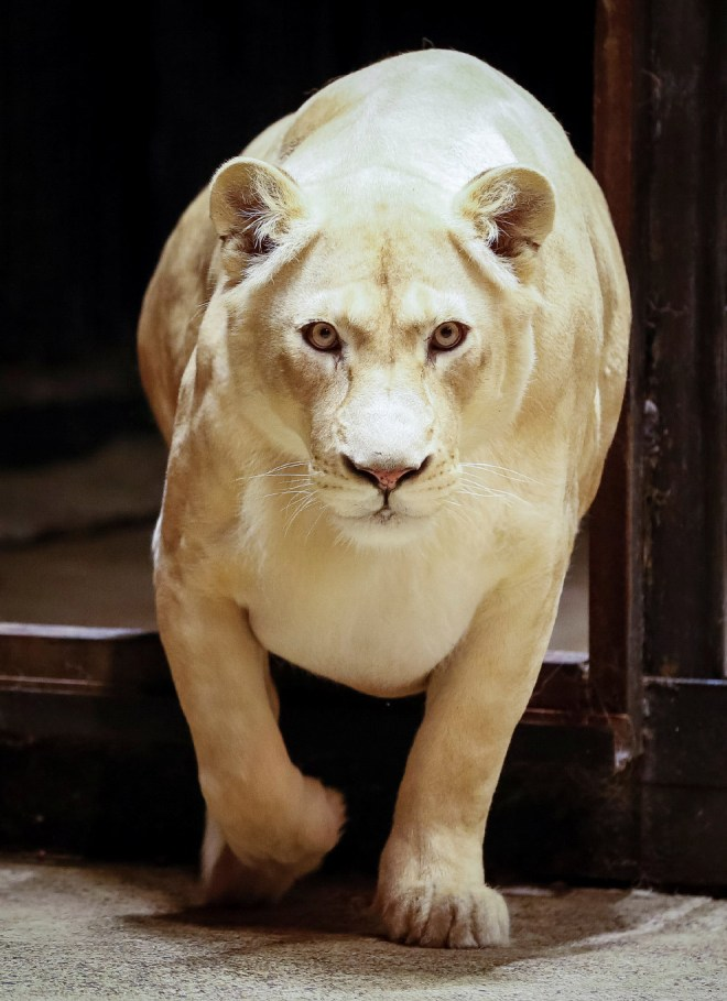 Агата, 6-летняя белая африканская львица в зоопарке Роев Ручей в Красноярске