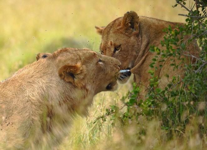молодой лев освобождает подругу от дротика с транквилизатором