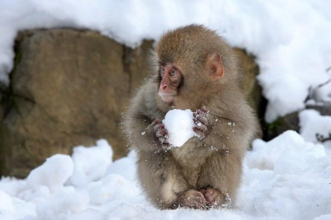 Маленькая обезьянка лепит снежок