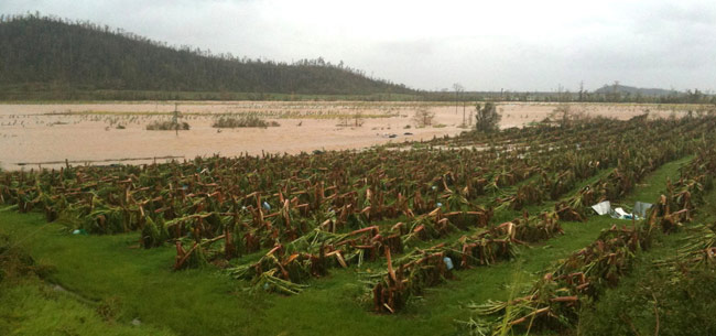 Innisfail banana plantation wiped out by Cyclone Yasi